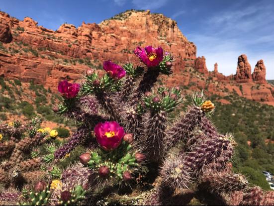 Sedona Cactus in Bloom