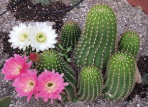 Cactus in Dennis's Backyard