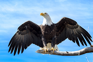 Bald eagle spreading its wings and sitting on a branch