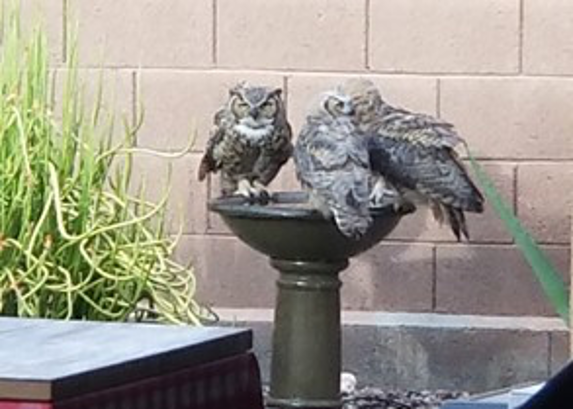 Owls in the Miller Backyard