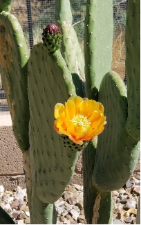 Miller's Backyard Cactus with flower, April 2021