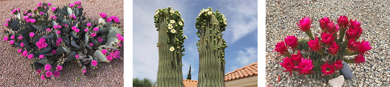 Photos of Locally Blooming Cactuses